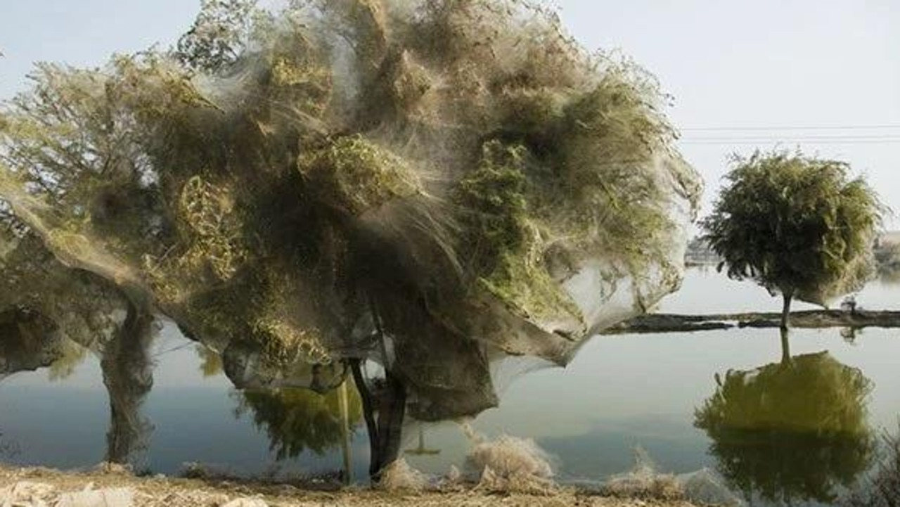 Spiders have turned these trees into a safety web - to save themselves from floodwater