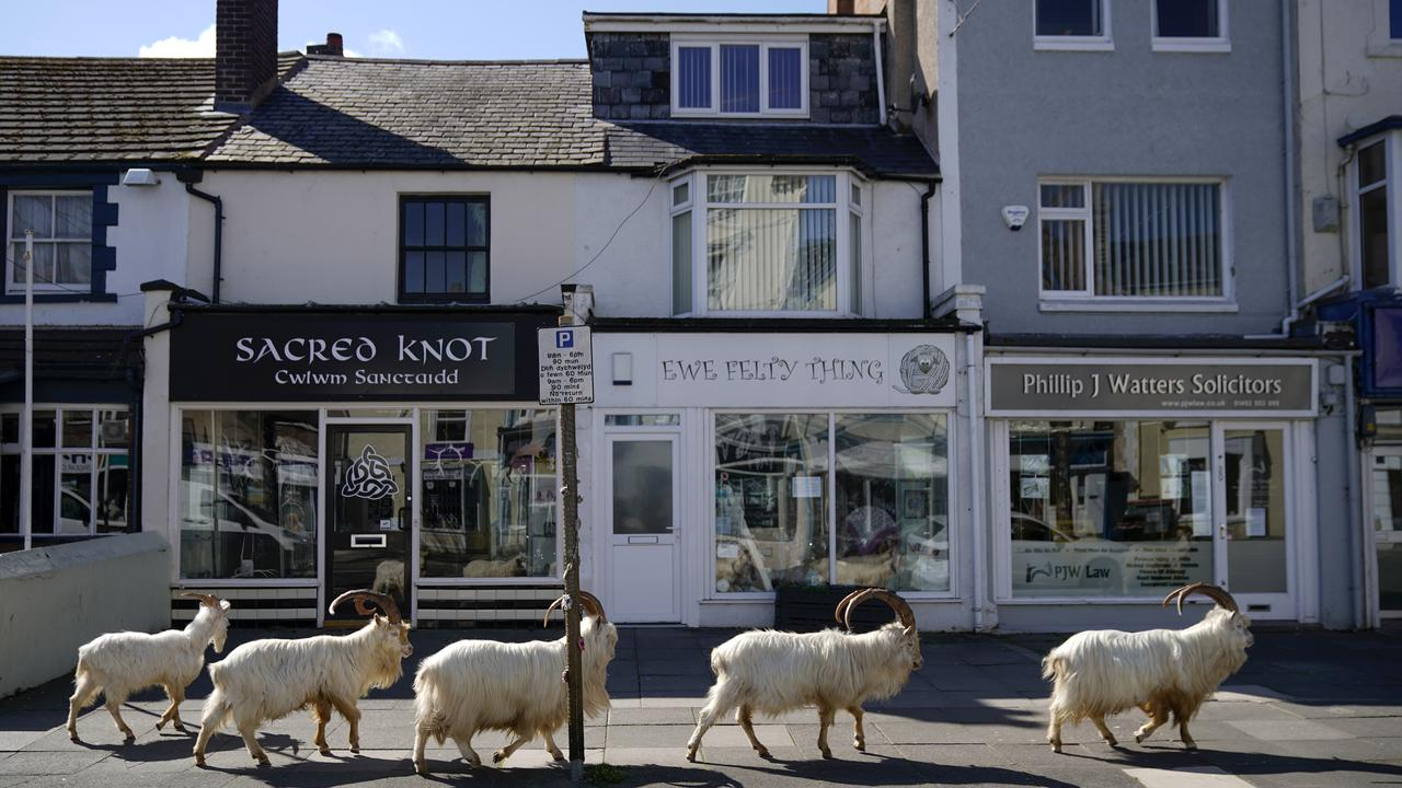 Wild mountain goats roam the streets of the seaside town of LLandudno in Wales. Picture: Getty Images