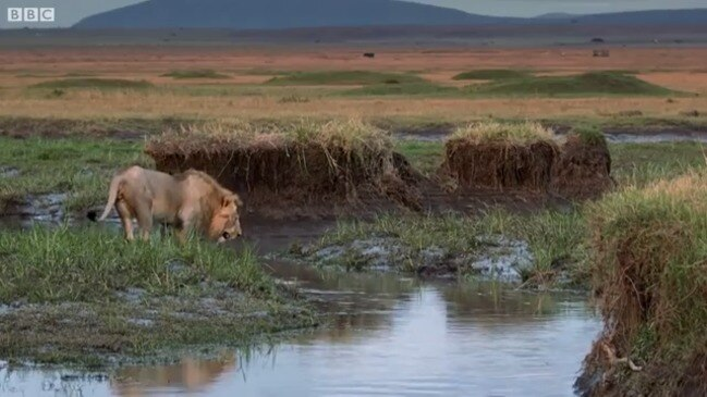 BBC Earth footage of lion and hyena battle