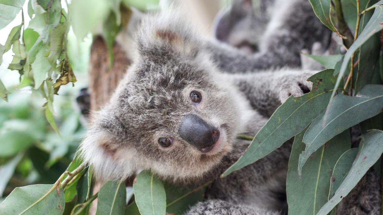 Koala populations across Australia have halved in the past 20 years.