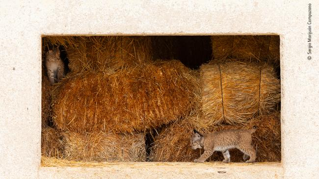 """4/25'A window to life' by Sergio Marijuán Campuzano, Spain """"Two Iberian lynx kittens, Quijote and Queen, play in the abandoned hayloft where they were born. Extremely curious, but a bit scared as well, they started exploring the outside world through the windows of their straw-bale home. The reintroduction of the species to eastern Sierra Morena, Spain, has seen them, in more recent years, take advantage of some human environments. Their mother, Odrina, was also born in the hayloft, and her mother Mesta stayed with her for a whole year before leaving her daughter this safe and cosy place to raise her own family.""""Picture: Copyright Sergio Marijuán Campuzano, Wildlife Photographer of the Year"""