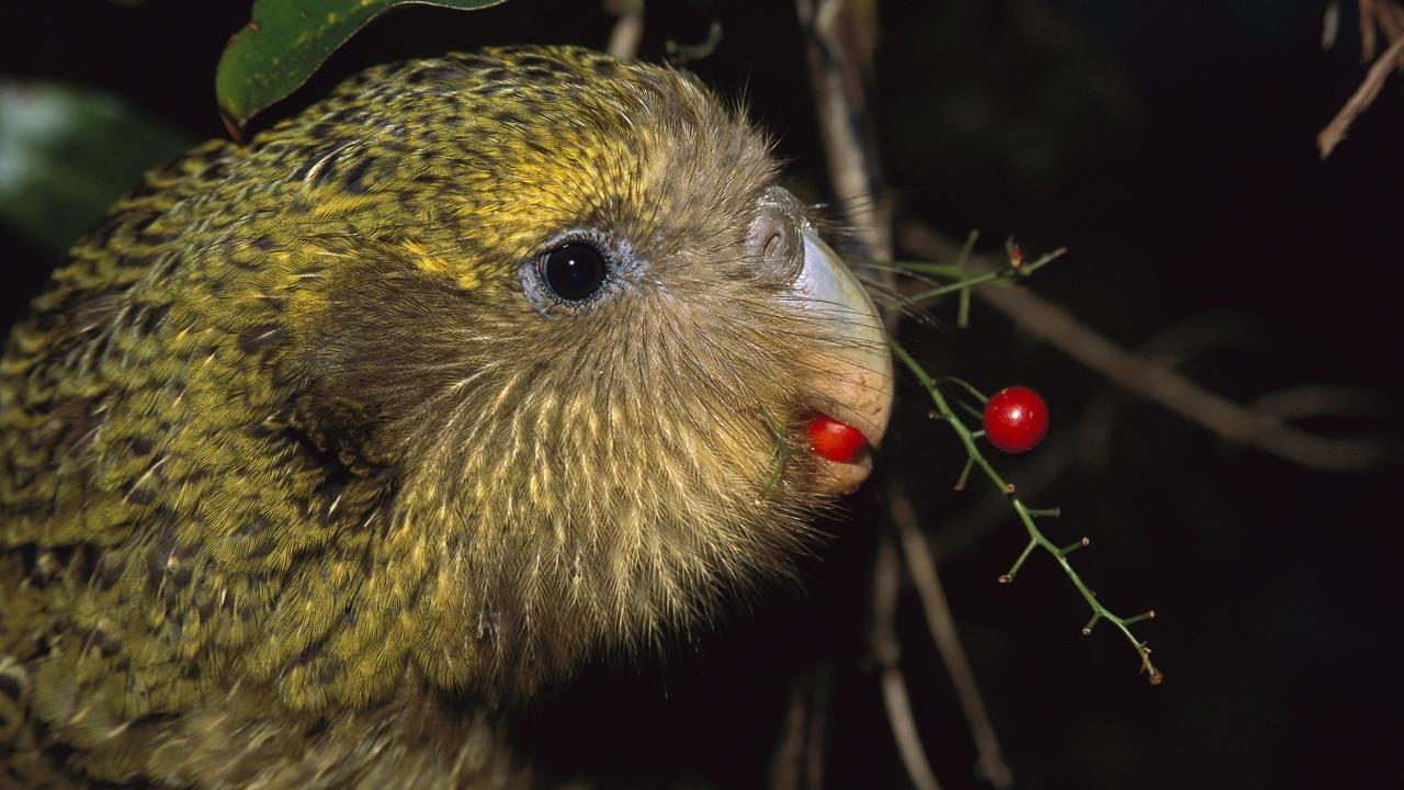 Kakapo (Strigops habroptilus), flightless nocturnal parrot, hand-reared, feeding on Supplejack berries (Ripogonum scandens), Codfish Island, Whenua Hoa, New Zealand