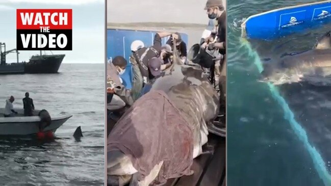 'Monster' 50-year-old great white shark caught and tagged by researchers