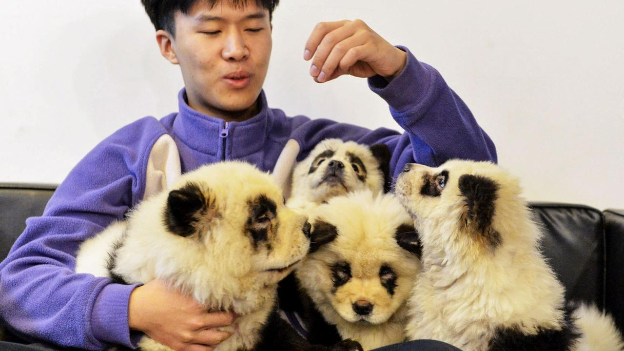 A staff member plays with dogs dyed black and white to mimic panda cubs. Picture: STR / AFP / China