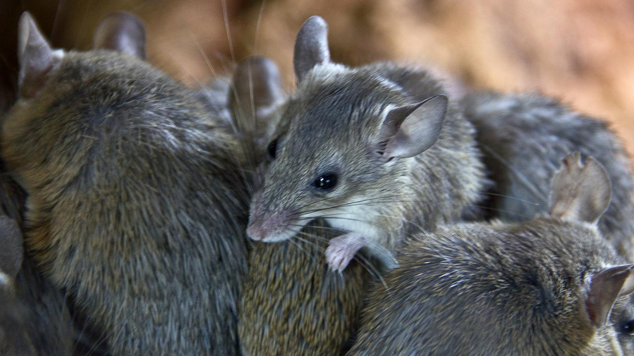 The plague has seen schools, homes and hospitals overrun, farmers lose hundreds of thousands of dollars in crops and entire towns suffocated by the pungent smell left by the rodents. Picture: iStock