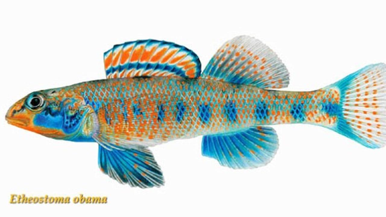Etheostama Obama, a type of perch fish named after US President Barack Obama.