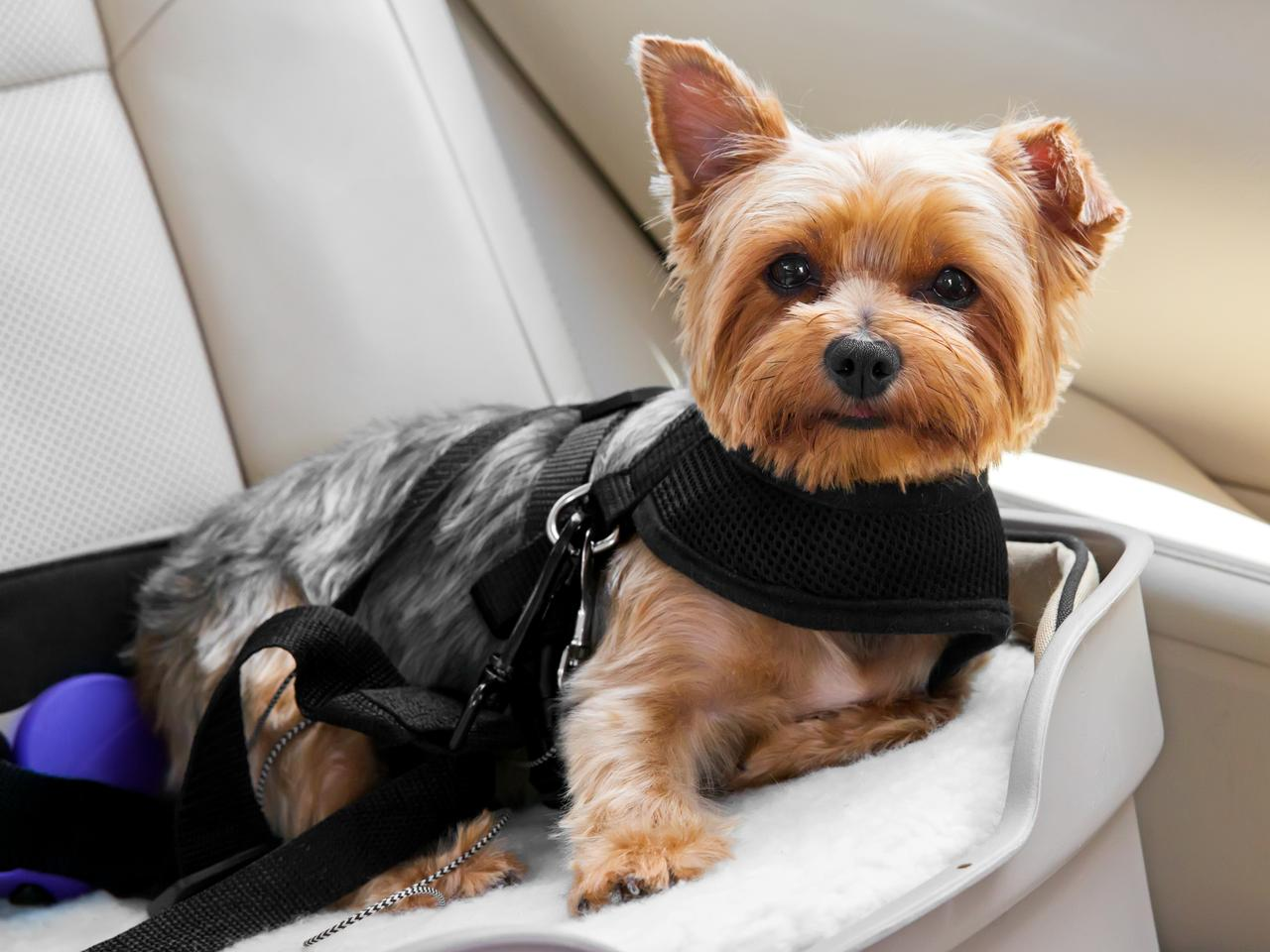 Cute dog secured in car seat