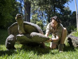 Aldabra Giant Tortoise Training Melbourne Zoo