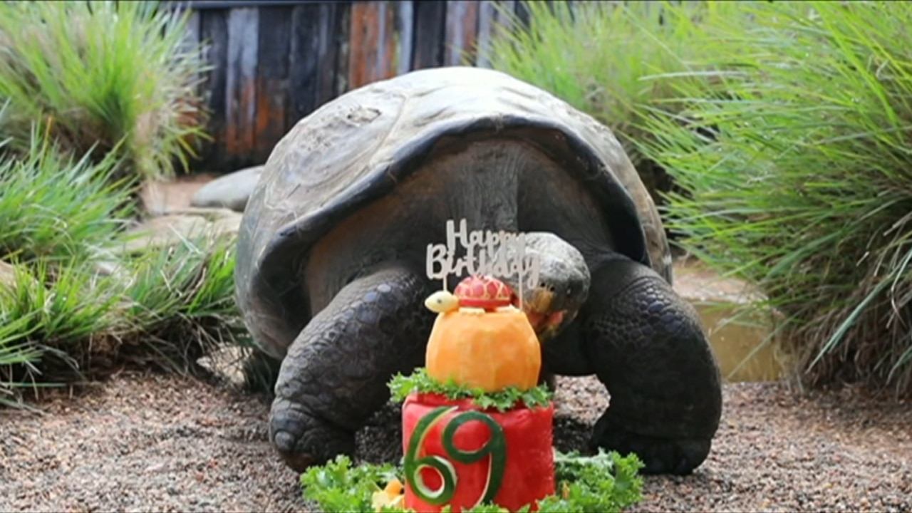 Hugo the tortoise celebrates his 69th birthday