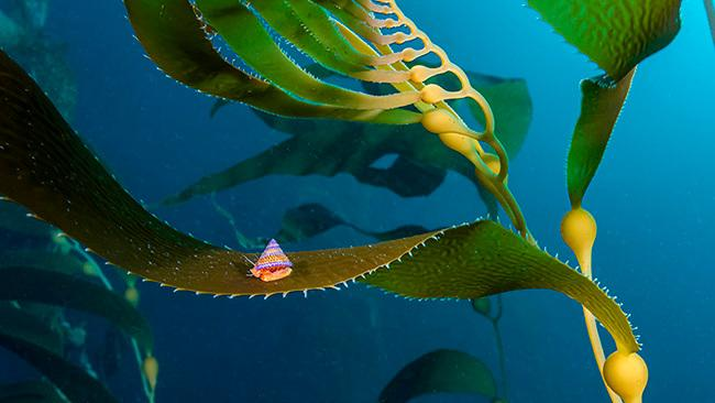 13/42Monterey Bay, USA A purple and orange jeweled top snail forages high in the canopy of the giant kelp forest caught my attention in the waters of Monastery Beach, Monterey, California, USA. Picture: Jon Anderson/Ocean Art 2020