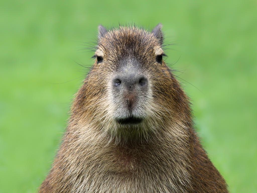 The capybara is the world's largest rodent.