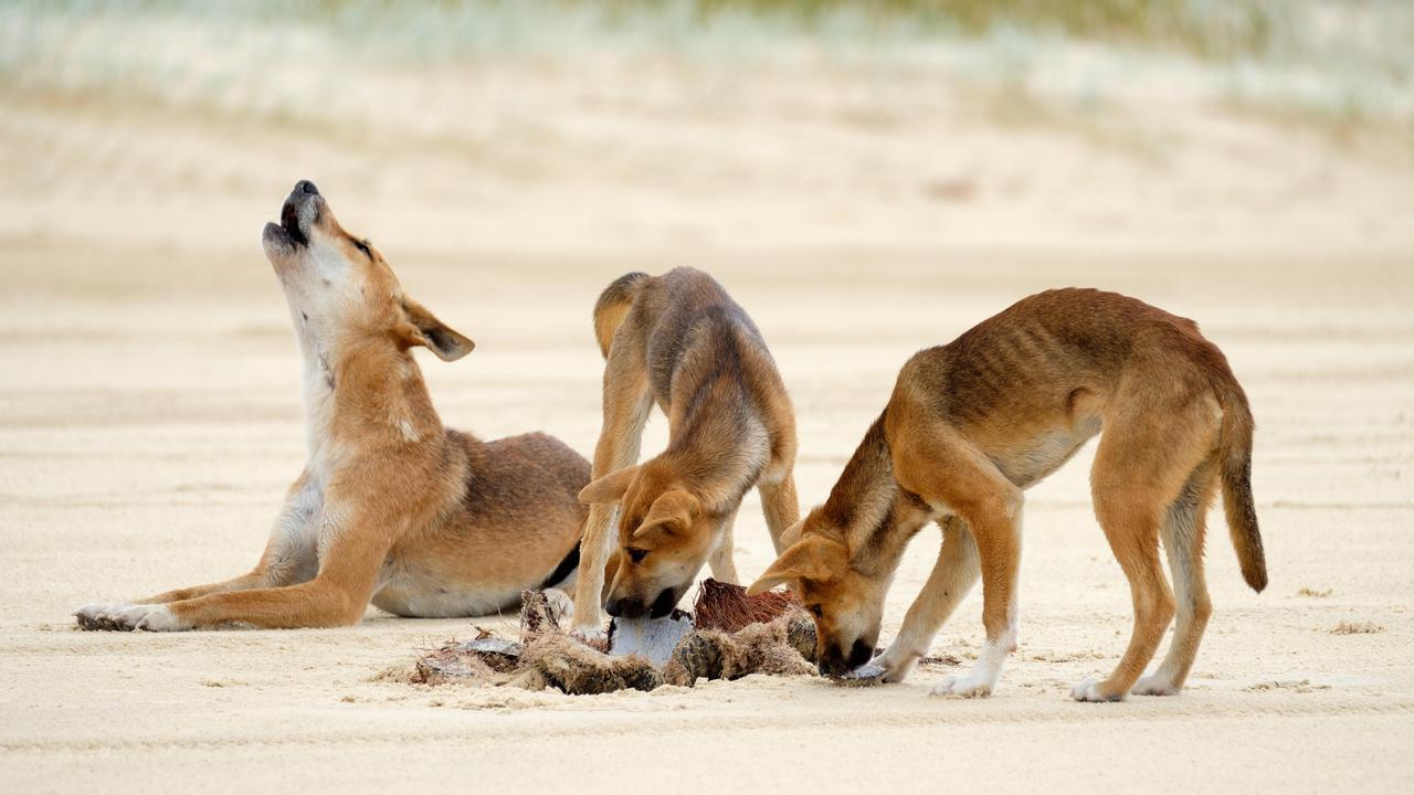 Dingoes - Fraser Island