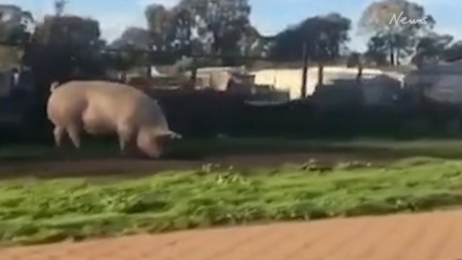 Giant pig escapes pen and goes for a trot