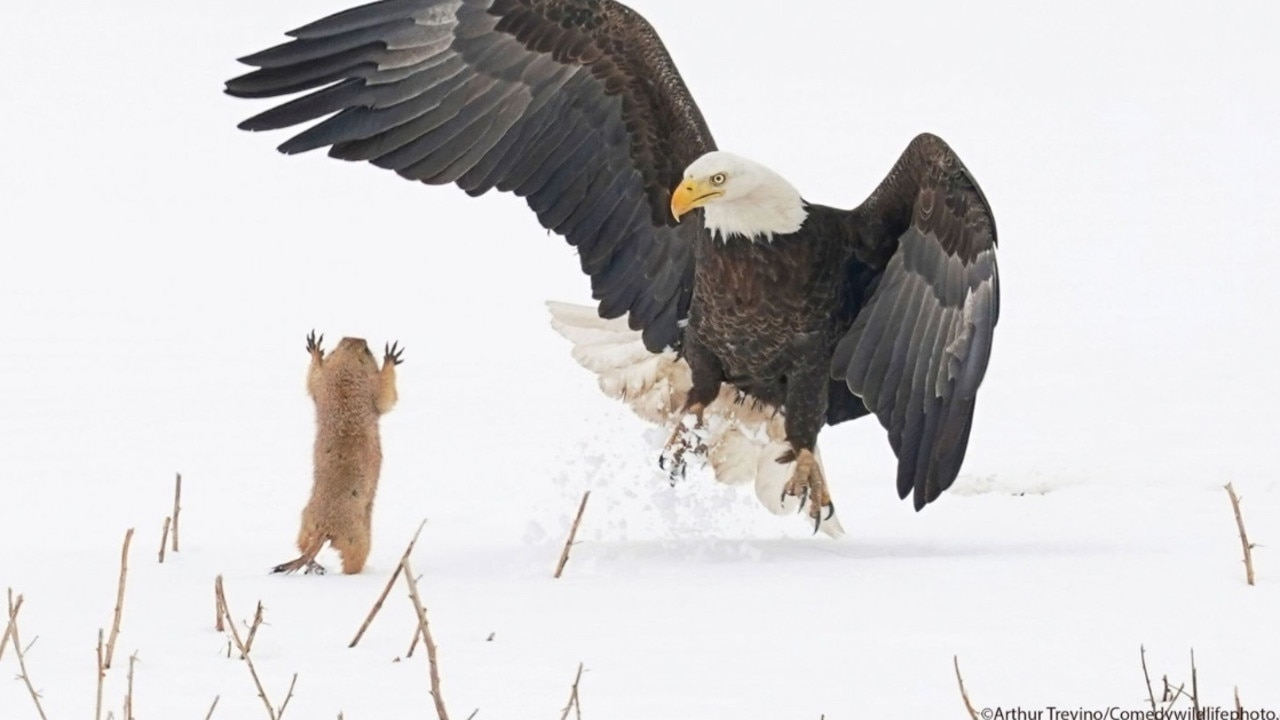 An eagle appeared to get quite a fright from a much smaller creature in the snow. Picture: Comedy Wildlife Awards
