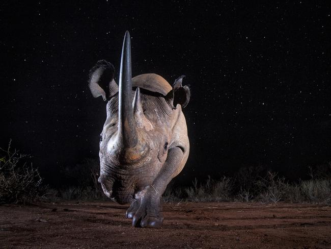 """BEST 'DUSK TO DAWN' SINGLE IMAGE: WILL BURRARD-LUCAS (UK) *JOINT WINNER  TSAVO WEST NATIONAL PARK, KENYA: """"A black rhino photographed with a Camtraptions camera trap at night. This is a single long exposure photograph. The long exposure was required to expose the stars. A flash at the start of the exposure illuminated the rhino."""" Picture: Will Burrard-Lucas/tpoty.com"""
