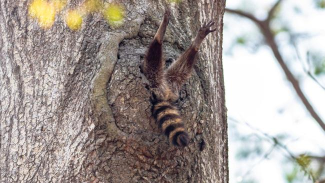 'Almost time to get up' A raccoon in Newport News, Virginia. Picture: Charlie Davidson/Comedy Wildlife Photo Awards 2020