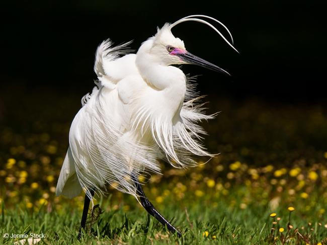 2017 Australian Geographic Nature Photographer of the Year competition: Animal Portrait Winner: Windblown egret, little egret (Egretta garzetta), Jennie Stock (WA) A little egret (Egretta garzetta) in breeding plumage was feeding in a shallow section of Herdsman Lake on a windy day when it turned and the breeze ruffled its feathers.