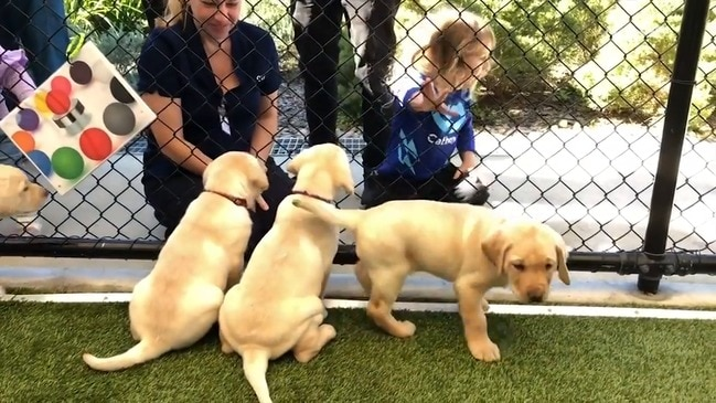 Miracle Guide Dog Puppies
