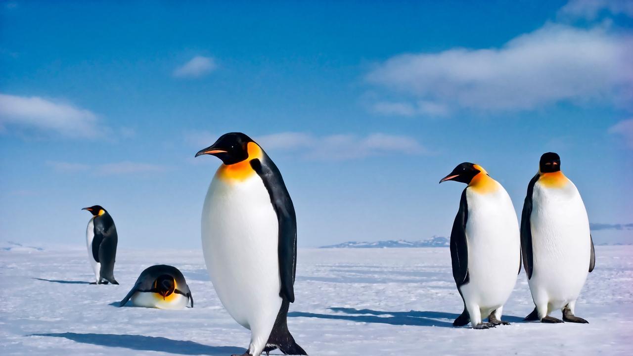 Emperor Penguins on the Ross Ice Shelf Antarctica. Picture: Alamy