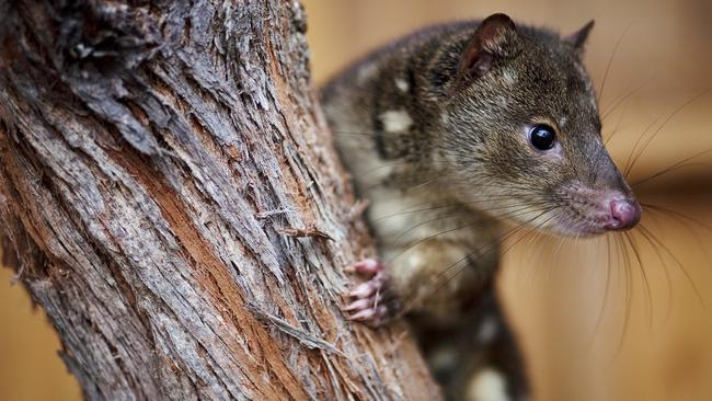 What do you think of having a tiger quoll as a pet?