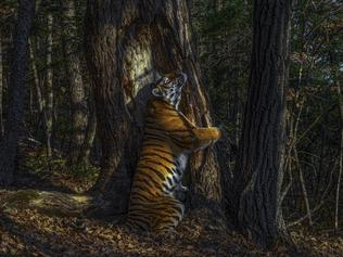 Wildlife Photographer of the Year winners announced -  The embrace by Sergey Gorshkov, Russia Winner 2020, Animals in their Environment, GRAND TITLE WINNER  With an expression of sheer ecstasy, a tigress hugs an ancient Manchurian fir, rubbing her cheek against bark to leave secretions from her scent glands. She is an Amur, or Siberian, tiger, here in the Land of the Leopard National Park, in the Russian Far East. The race – now regarded as the same subspecies as the Bengal tiger – is found only in this region, with a small number surviving over the border in China and possibly a few in North Korea. Hunted almost to extinction in the past century, the population is still threatened by poaching and logging, which also impacts their prey – mostly deer and wild boar, which are also hunted. But recent (unpublished) camera‑trap surveys indicate that greater protection may have resulted in a population of possibly 500–600 – an increase that it is hoped a future formal census may confirm. Low prey densities mean that tiger territories are huge. Sergey knew his chances were slim but was determined to take a picture of the totem animal of his Siberian homeland. Scouring the forest for signs, focusing on trees along regular routes where tigers might have left messages – scent, hairs, urine or scratch marks – he installed his first proper camera trap in January 2019, opposite this grand fir. But it was not until November that he achieved the picture he had planned for, of a magnificent tigress in her Siberian forest environment.    Nikon Z-7 + 50mm f1.8 lens; 1/200 sec at f6.3; ISO 250; Cognisys camera-trap system.
