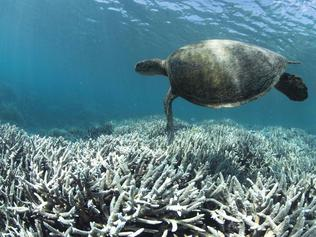 "TOPSHOT - This undated handout photo released on April 20, 2016 by XL Catlin Seaview Survey shows a turtle swimming over bleached coral at Heron Island on the Great Barrier Reef.  Australia's iconic Great Barrier Reef is suffering its worst coral bleaching ever recorded with 93 percent impacted, scientists said on April 20, 2016 as they revealed the phenomenon was also hitting the other side of the country. / AFP PHOTO / XL CATLIN SEAVIEW SURVEY / STR / -----EDITORS NOTE --- RESTRICTED TO EDITORIAL USE - MANDATORY CREDIT ""AFP PHOTO / XL CATLIN SEAVIEW SURVEY"" - NO MARKETING - NO ADVERTISING CAMPAIGNS - DISTRIBUTED AS A SERVICE TO CLIENTS - NO ARCHIVES"