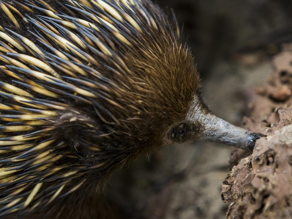 A grown up echidna searches for ants at Featherdale Wildlife Park. Picture: Dylan Robinson