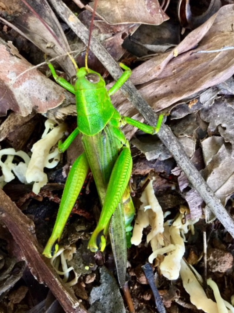 Grasshoppers are among the insects under threat. Picture: Gail Taifalos