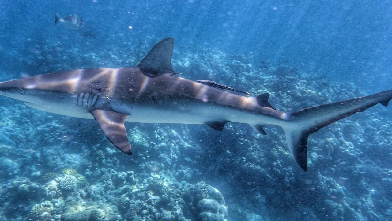 Mathew Vickers was bitten by this Grey Reef Shark. Picture: GoFundMe