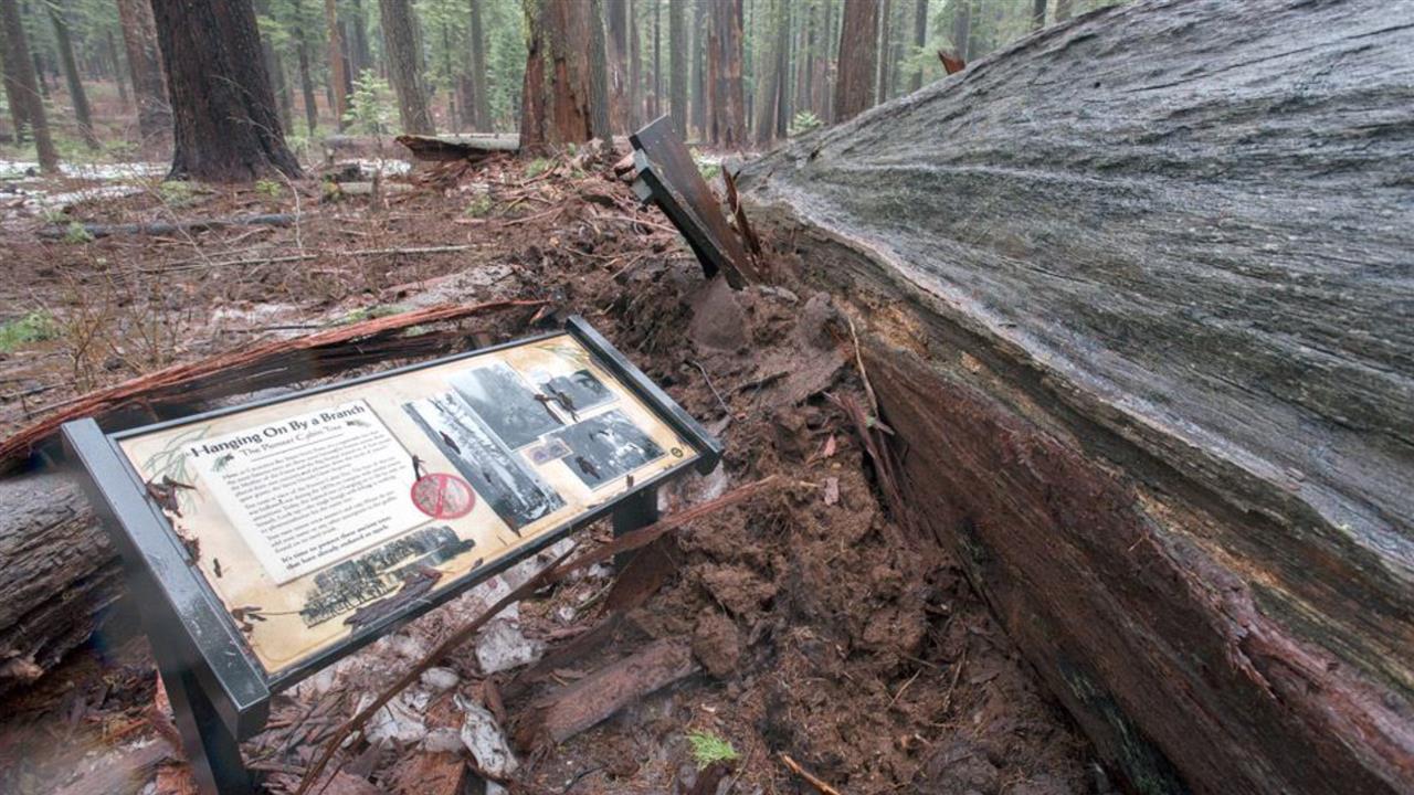 Northwest Storms Topple Iconic Sequoia Tree