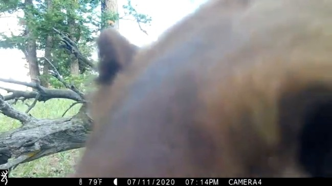 Curious Bear Gets Up Close and Personal With Trail Cam in Colorado