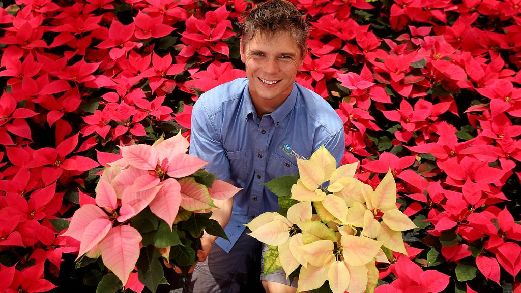 Poinsettia Perfect Flower For Christmas The Weekly Times