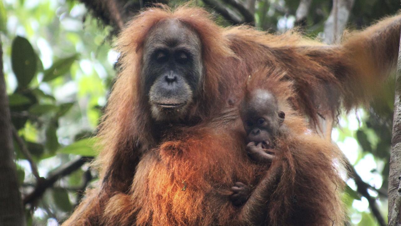 Tapanuli orangutan with its baby in Batang Toru Ecosystem in Tapanuli. Picture: James Askew/Sumatran Orangutan Conservation Programme