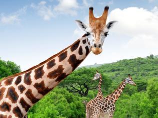 Giraffes in Kruger park