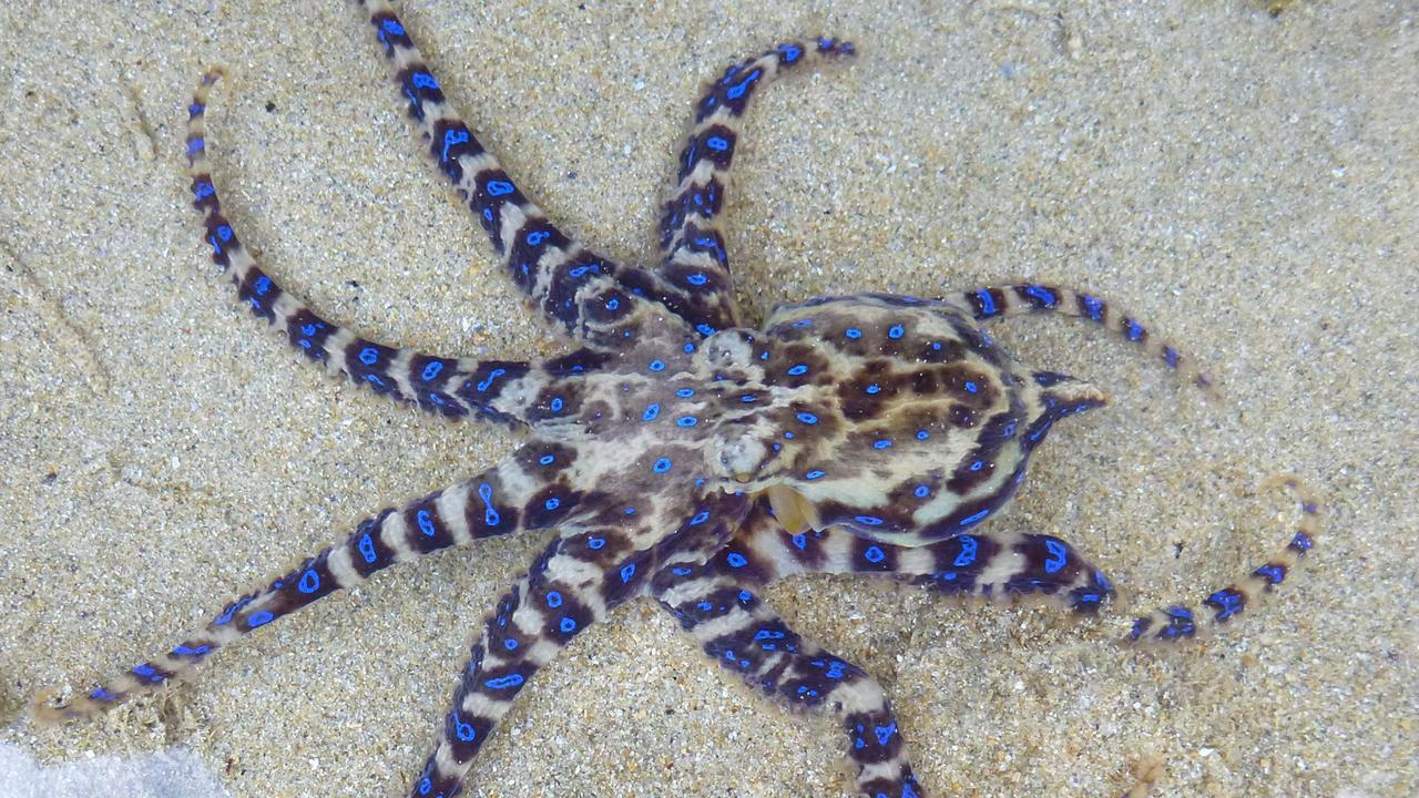 A deadly blue-ringed octopus.