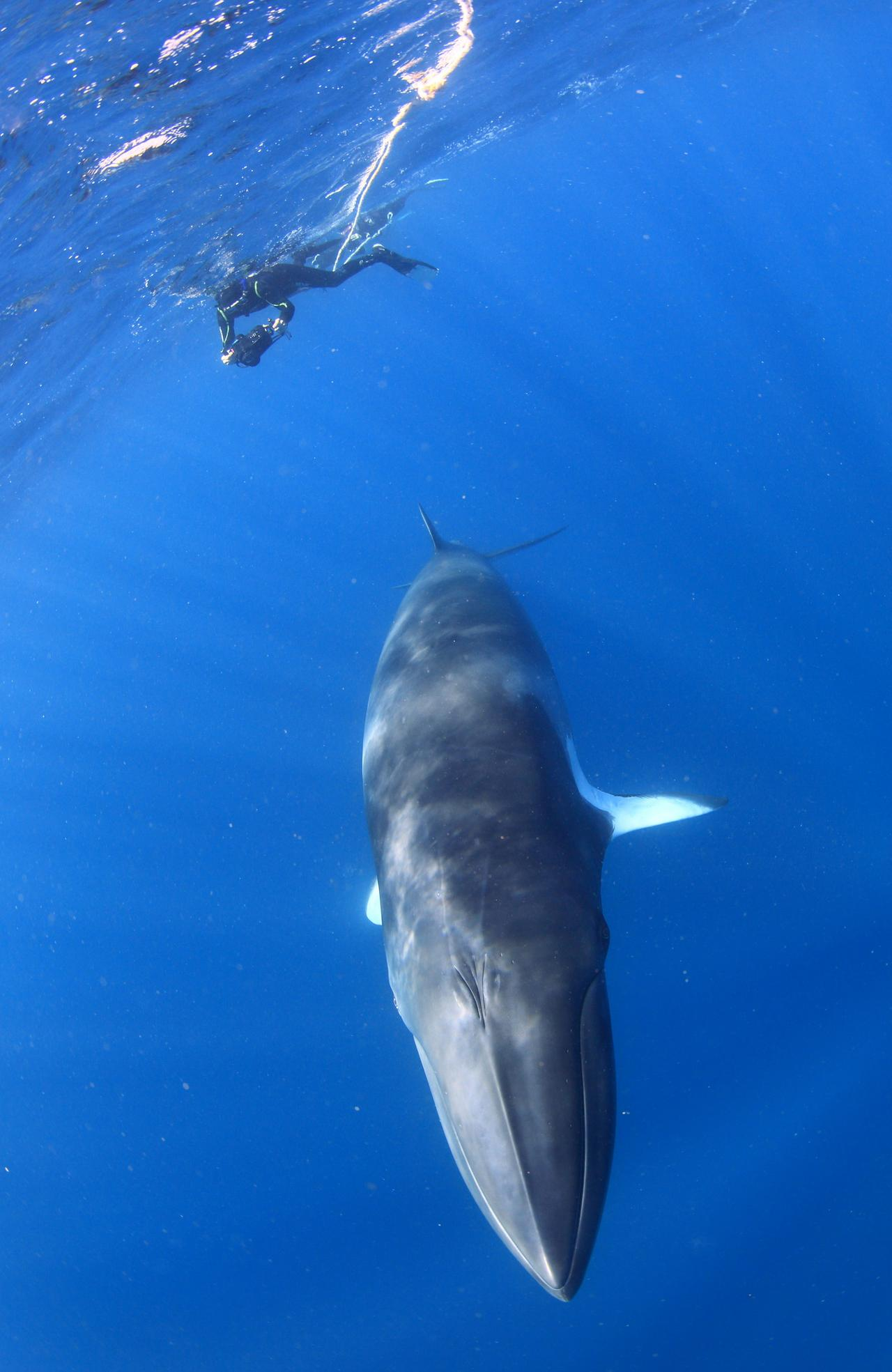 Swimming with a dwarf minke whale on the Great Barrier Reef. Picture: Takaji Ochi