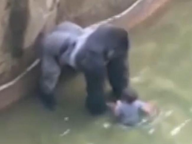 Harambe, 17, dwarfs the four-year-old boy who found his way into the Gorilla World exhibit. Picture: WLWT