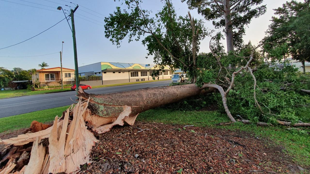 Severe storms tore through Innisfail with such ferocity they broke this huge kauri pine at the base at Anzac Memorial Park. PICTURE: EVAN GUERRA