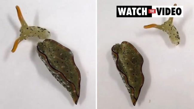 Decapitated sea slugs can regrow body