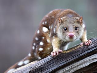 Moonlit Sanctuary Pearcedale.  'Quinnie' the 2 year old female 'Spot Tailed Quoll' who was hand reared after being abandoned by its mother at 2 months of age. 'Quinnie' is one of the animals involved in the sanctuary's 'Conservation in Action' show.  Picture: Jason Sammon  Monday 20 June 2016