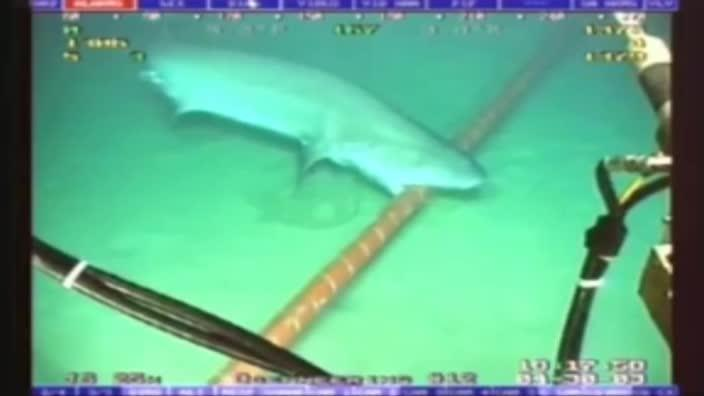Shark attacks a subcable