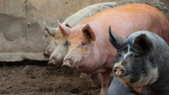All you need to know to get started with pigs | The Weekly Times