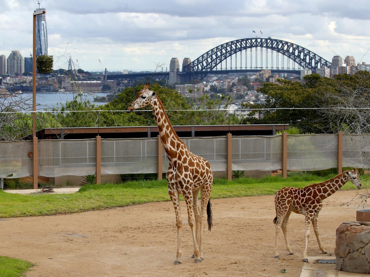 Taronga Zoo giraffe calf