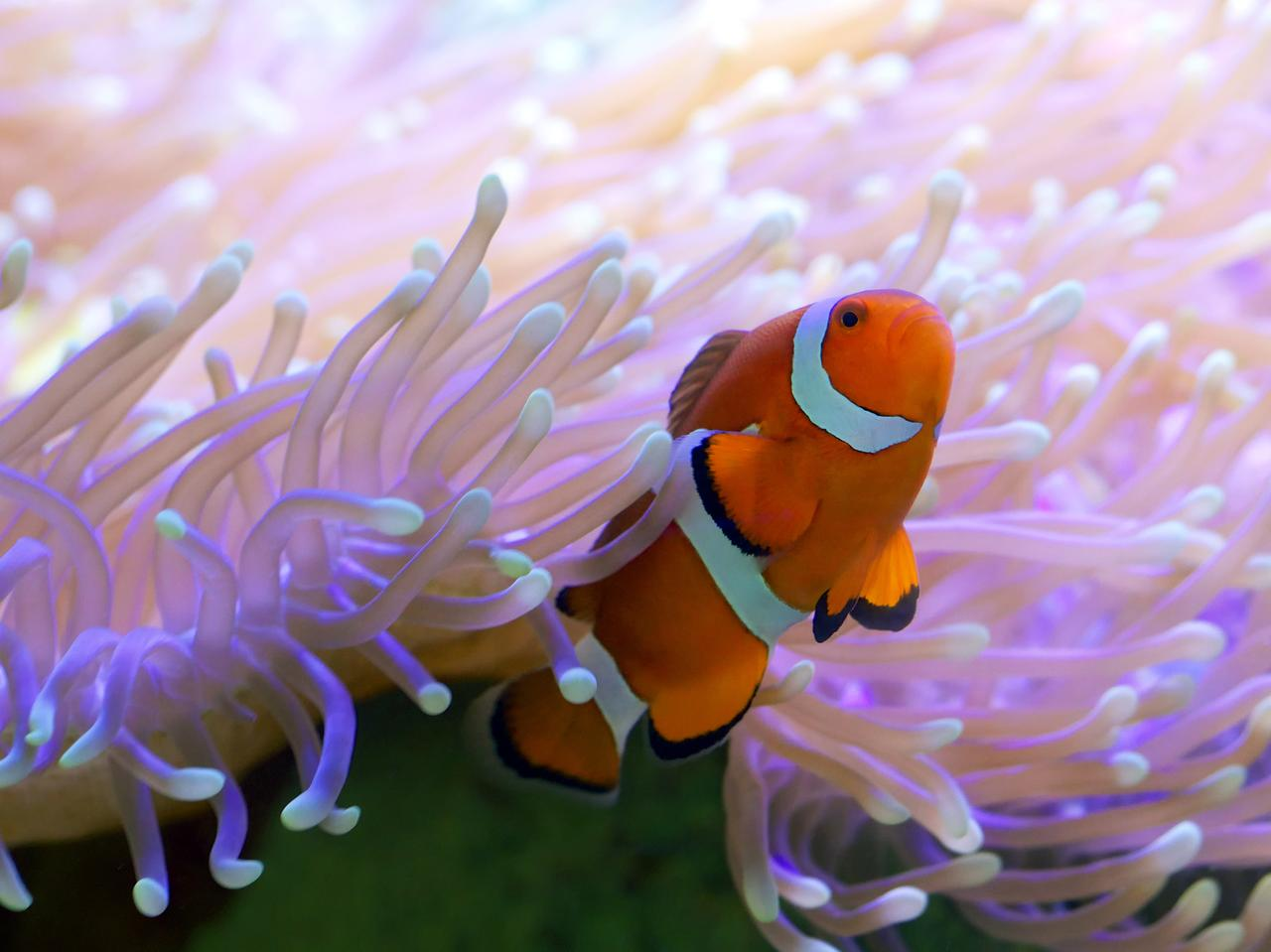 Tropical clown fish hiding in bright pink anemone. Clown fish are also known worldwide as Nemo and can be found in and around the blue waters of Whitsundays.