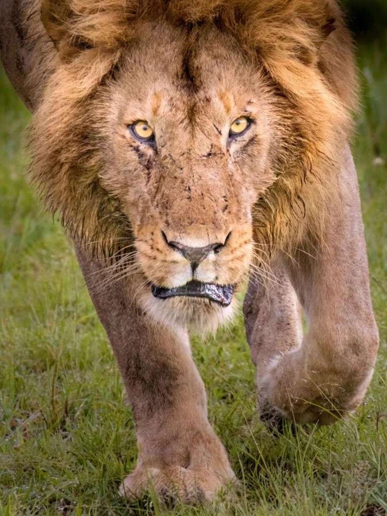 There may be 30-40 lions in a pride, but usually only one or two dominant males. Picture: Stephen Underwood