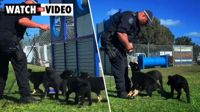 Sydney: Police puppies join the NSW Police
