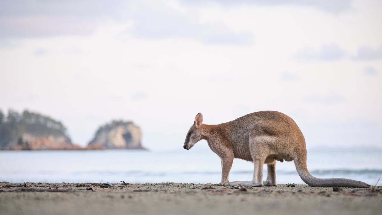 Check out the wallabies at Casuarina Beach in Cape Hillsborough.