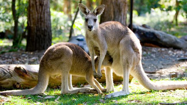 4. KU-RING-GAI NATIONAL PARK, NSW For many global TV viewers, Skippy the Bush Kangaroo was their first glimpse of Australia. Skippy's ancestors still bound among visitors to Waratah Park Earth Sanctuary in Ku-ring-gai National Park. Its green belt snakes up to the Hawkesbury, the tributary that inspired Kate Grenville's acclaimed novel The Secret River. Its magic can be tapped by ferry or hiking or soaked up on a rented houseboat. Picture: Supplied