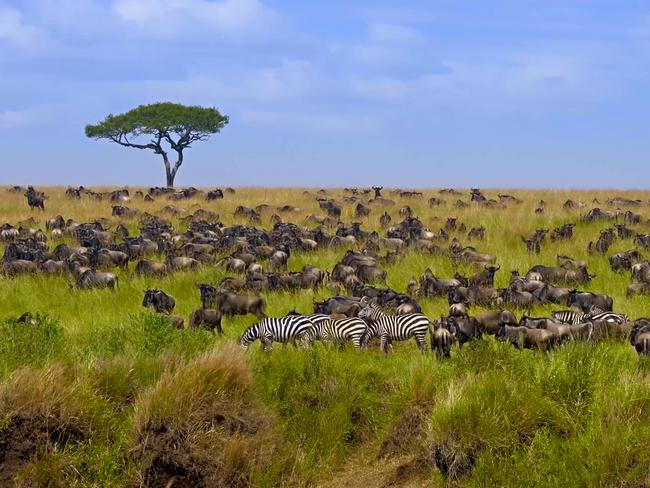 SERENGETI, TANZANIA The jewel in the crown of Tanzania is undoubtedly the legendary Serengeti, which is home to the annual migration, in which more than a million wildebeest and about 200,000 zebras move to the northern hills from the southern plains for new pasture. The Serengeti ecosystem is one of the oldest on Earth, and its weather pattern, fauna and flora, has not changed significantly over the past one million years. There are more than 70 species of large mammals in the park.